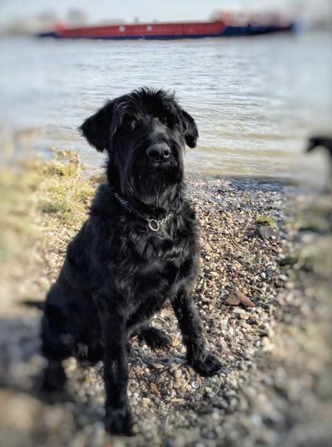 Hunde-frei-Zeit mit Riesenschnauzer am Rhein