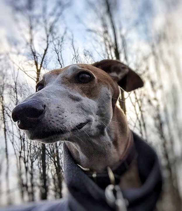 Hunde-frei-Zeit mit Galgo im Wald